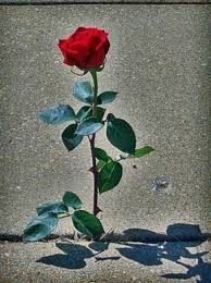 42 best rose that grew from concrete images on pinterest artists