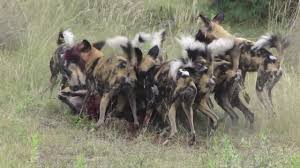 Kentucky wild animals images African wild dog hunting in botswana jpg