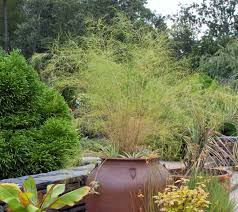 dig deeper into muhly grasses the genus muhlenbergia