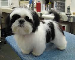haircuts for shih tzus males google image result for http www caninedesignct com buddy