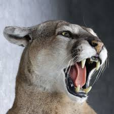lions for sale mountain lion size mount for sale 12616 the
