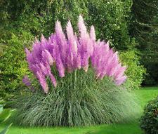 cortaderia ornamental grasses ebay