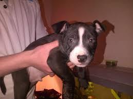 belgian shepherd gumtree heacham dogs for sale classifieds gumtree ads norfolk heacham