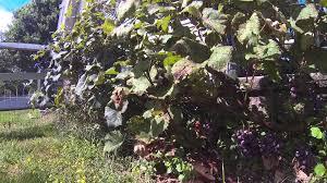 2014 catawba grape crop youtube
