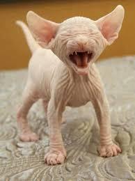 Hairless Cat Meme - sphinx kitten felines small and big 4 pinterest cat