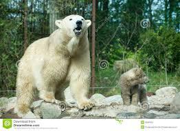 roaring polar bear cub captive royalty free stock images