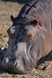si e social hippopotamus hippopotamus safari ravenna loc mirabilandia