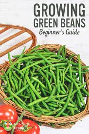 growing green beans how to plant green beans for beginners