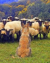 belgian sheepdog club of america national specialty berger picard club of america