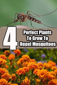 the 25 best anti mosquito plants ideas on pinterest anti