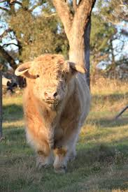 89 best scottish highland cattle in nsw australia images on