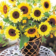 f1 hybrid flower seeds ornamental sunflower seeds for sale buy