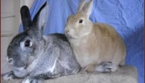 bunnies for easter and ducks and rabbits must be easter rumpydog