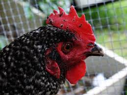 Backyard Poultry In India 10 Most Common Diseases In Backyard Chickens Symptoms Treatment