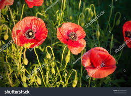 big red poppy flower buds meadow stock photo 567893395 shutterstock