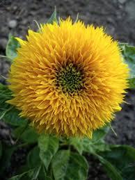 teddy sunflowers teddy sunflowers a cuddly flower the gardening cook