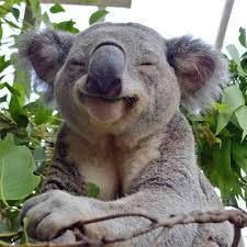 High Koala Meme - koala in eucalyptus nirvana aww