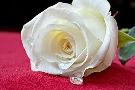 beautiful white roses wallpapers u2013 photos u2013 flowers images u2013 hd