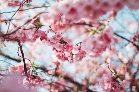 cherry blossom tree free stock photo
