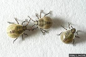 Bed Bugs Smell Got Pests