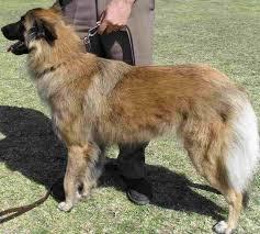 belgian sheepdog coat belgian shepherd dogs tervuren in south africa