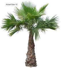 mexican fan palm washingtonia robusta