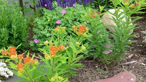 24 best native iowa plants images on pinterest native plants butterfly weed asclepias tuberosa american meadows