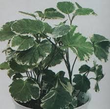 18 best houseplants images on pinterest houseplants plants and