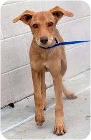 weimaraner vs afghan hound macarthur adopted dog 1692 mckinney tx pharaoh hound