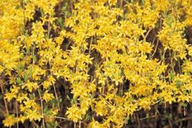 Yellow Flowering Trees - trees that flower in the spring with yellow flowers home guides