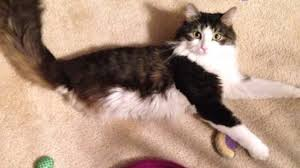 2 legged cat gets brother just like him the dodo youtube
