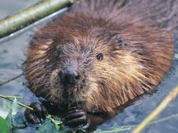 wild beaver spotted in england for first time in 800 years the
