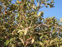 file mexican tree with fruits jpg wikimedia commons