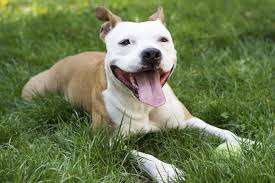 american pit bull terrier life expectancy unravelling the personality traits of a boxer pitbull mix dog