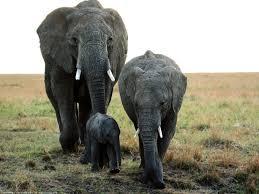 the elephants with cute baby wild animals free desktop