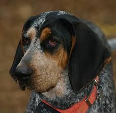 bluetick coonhound kennels in pa bluetick 1 kennels bluetick1kennels www bluetick1kennels com