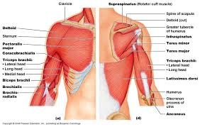 Innervation Of Infraspinatus Manual Muscle Testing Shoulder