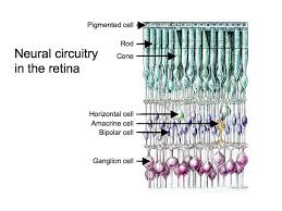 Pathway Of Light Through The Eye Perception Lecture Notes The Retina