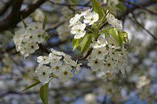white cherry blossom upload wikimedia org commons thumb 9 9b