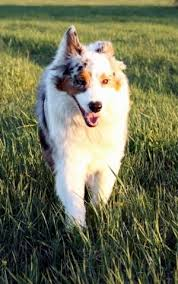 australian shepherd 1 yr old australian shepherd dog breed information and pictures