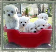 bichon frise breeders near me 24 best breeders images on pinterest html bichon frise and puppies