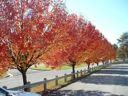 bradford pear tree in the fall all the pretty flowers
