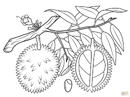 best free durian fruit coloring pages for kids printable