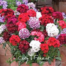 sweet william flowers 2018 mixed color dash dianthus sweet william flower 500 seeds