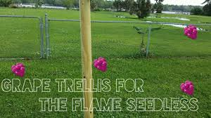 grape trellis for flame seedless youtube