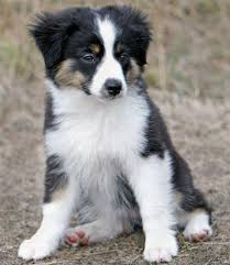 rocking m australian shepherds sydney the toy australian shepherd puppies daily puppy