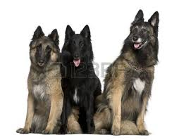 belgian sheepdog groenendael breeder belgian shepherd dog images u0026 stock pictures royalty free belgian