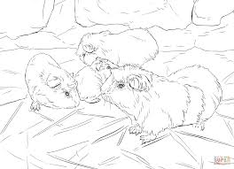 impressive guinea pig coloring pages printable with guinea pig