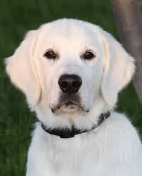 golden retriever noble loyal companions retriever puppies