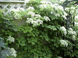 climbing hydrangea space for life